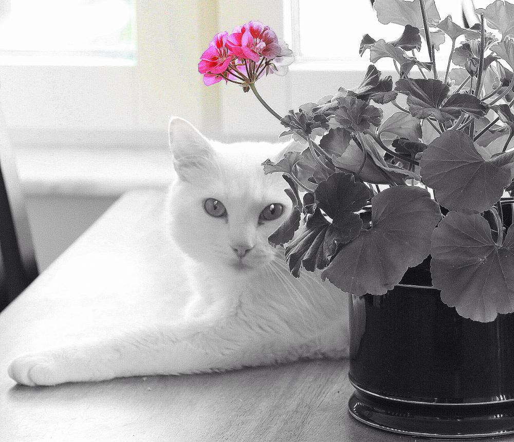 Photo in Animal #cat #flower #black and white #pink