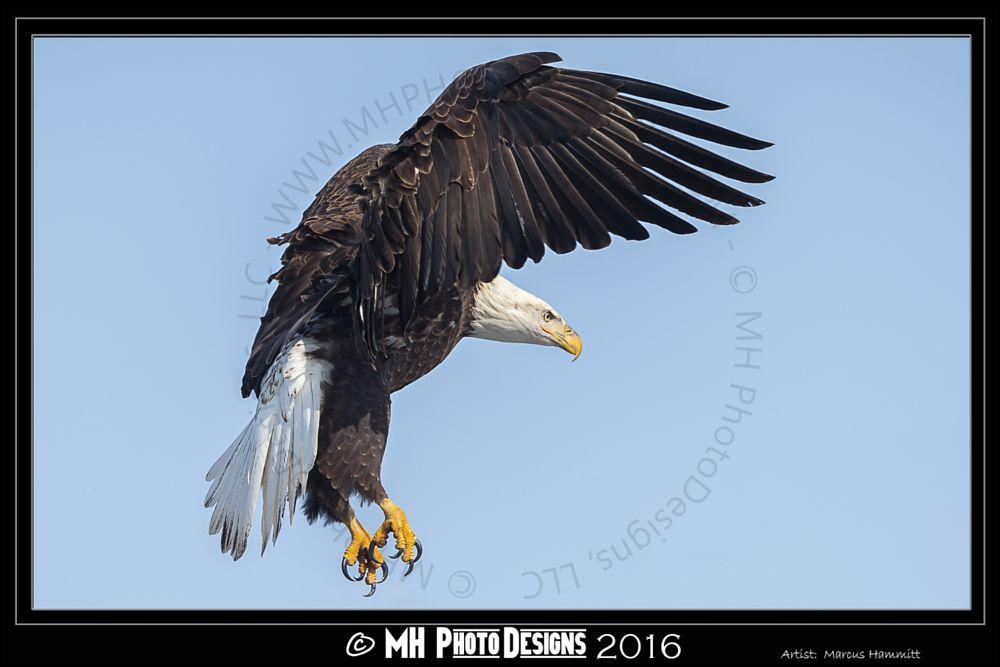 Photo in Animal #bald eagle #eagle #raptor #nature #wildlife