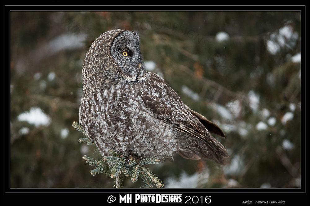 Photo in Animal #raptor #great grey owl #owl #birds of prey #nature #wildlife
