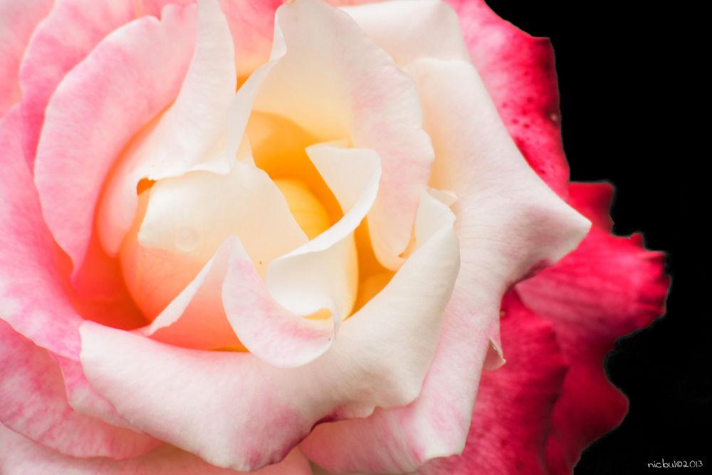 Photo in Macro #rose #flower #multicolor #fiori #rosa #macro #nature #closeup #vivitar 70-210 #ypa2013
