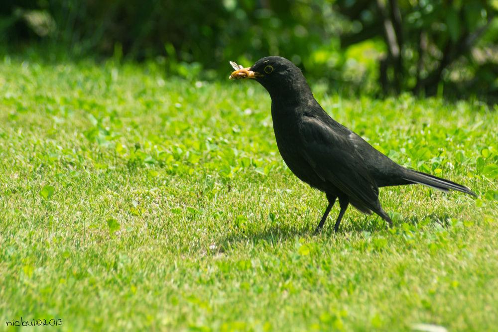 Photo in Animal #bird #blackbird #merlo #uccello #uccellonero #affamato #hungrybird #merloaffamato #uccelloaffamato #vivitar 70-210 #ypa2013 #nature