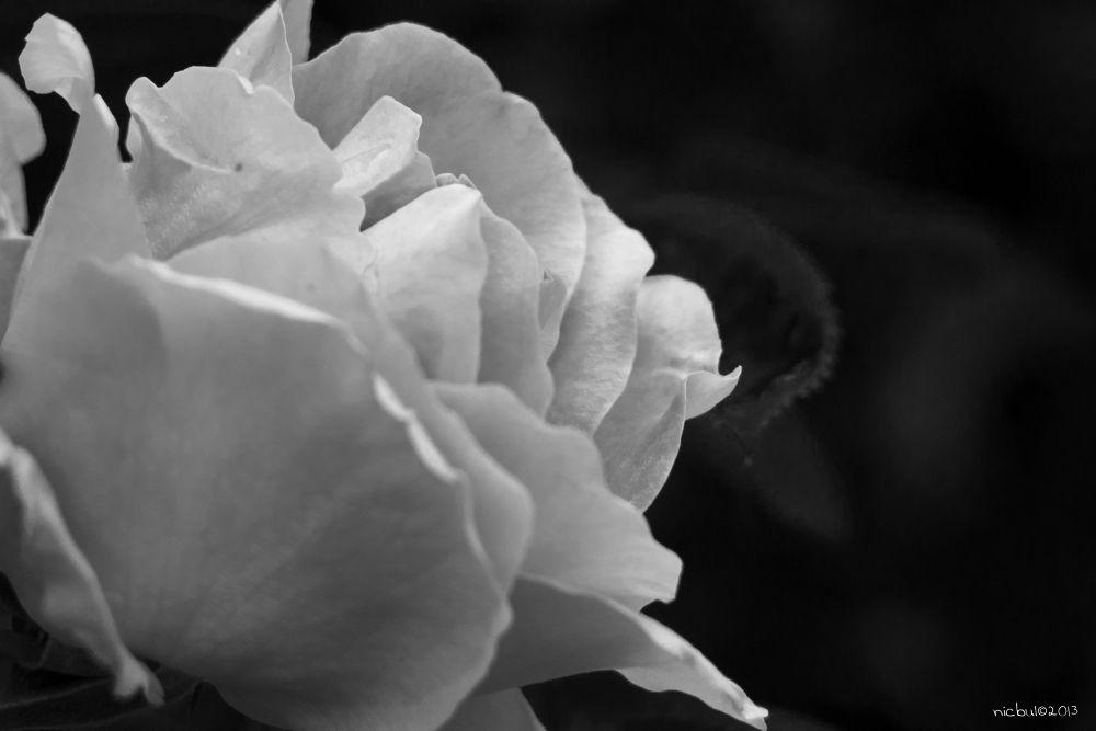 Photo in Macro #rose #blackandwhite #ypa2013 #vivitar 70-210 #black and white #nature