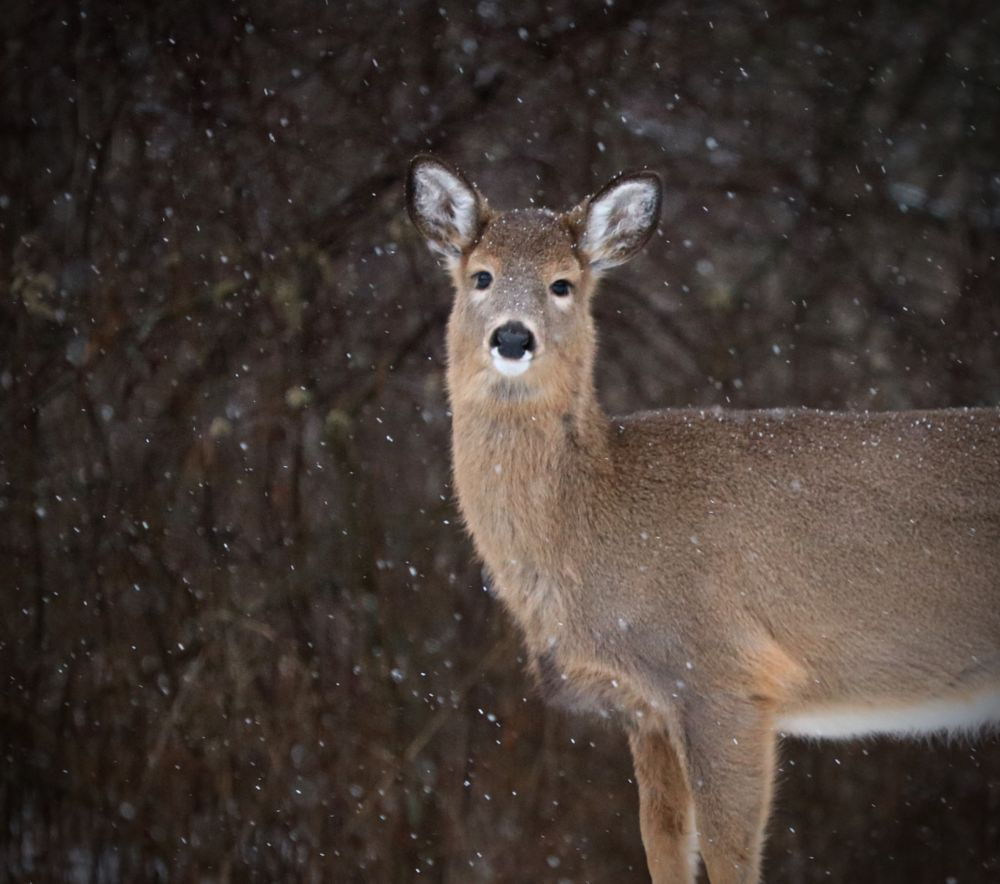 Photo in Nature #doe #mother #nature #deer #upstateny