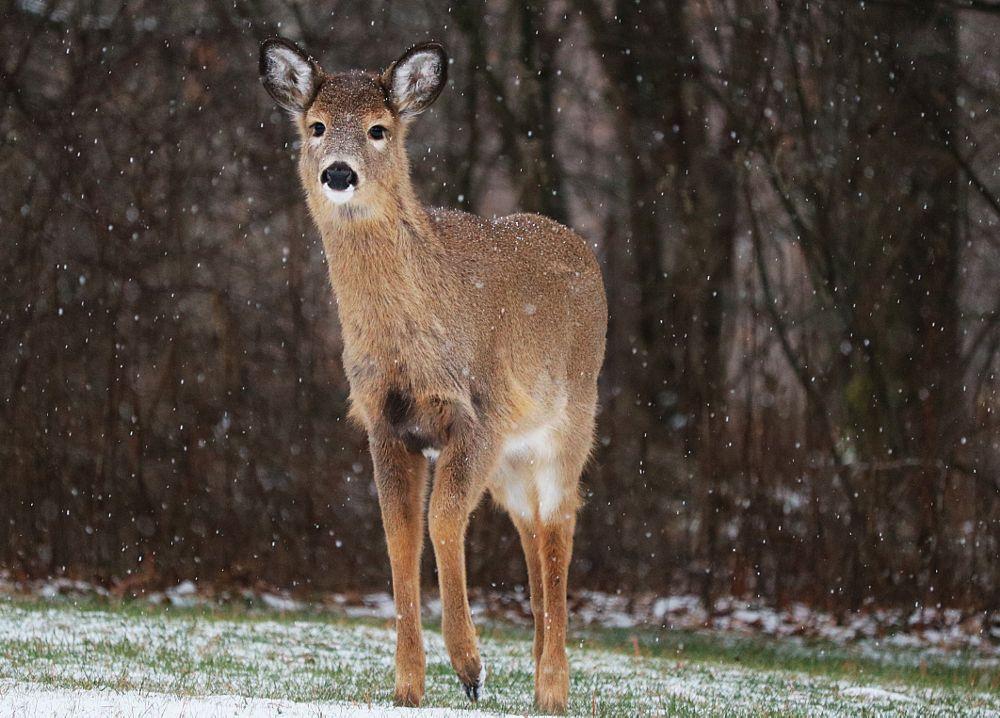 Photo in Nature #doe #posing #snowyafternoon