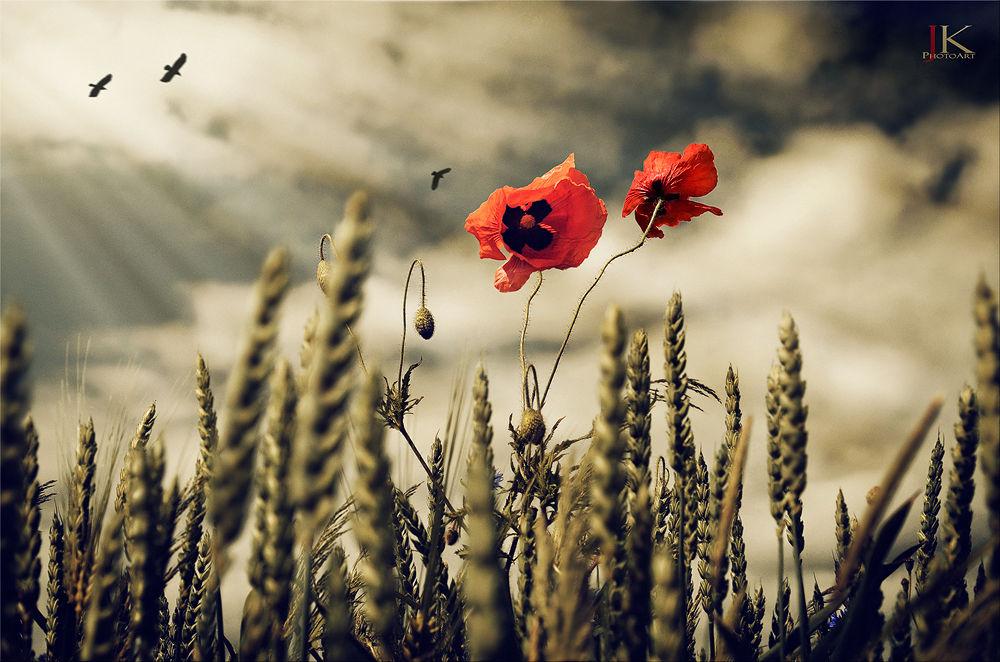 Photo in Nature #poppy #corn #field #sky #clouds