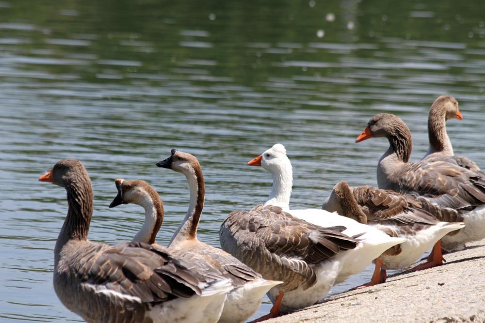 Photo in Animal #canadian geese #mallard ducks #white duck #pond #long beach #el dorado park #california