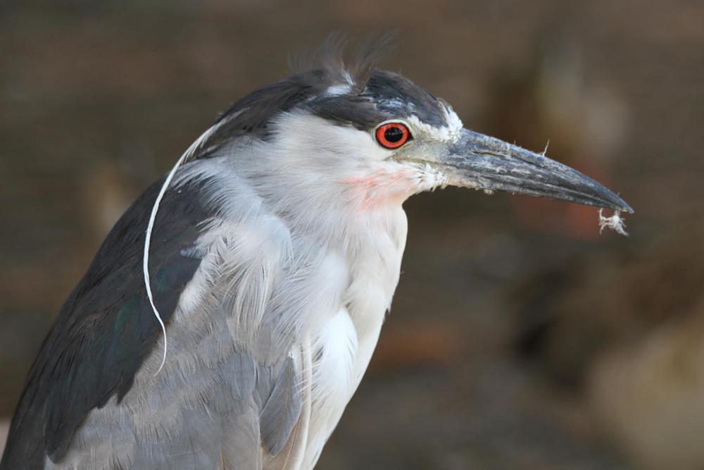 Photo in Animal #heron #black-crowned night heron #orange eye #gray-white #el dorado park #long beach #california #birds