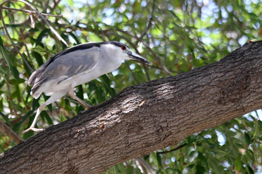 Photo in Animal #bird #heron #black-crowned night heron #tree #gray-white #el dorado park #long beach #california