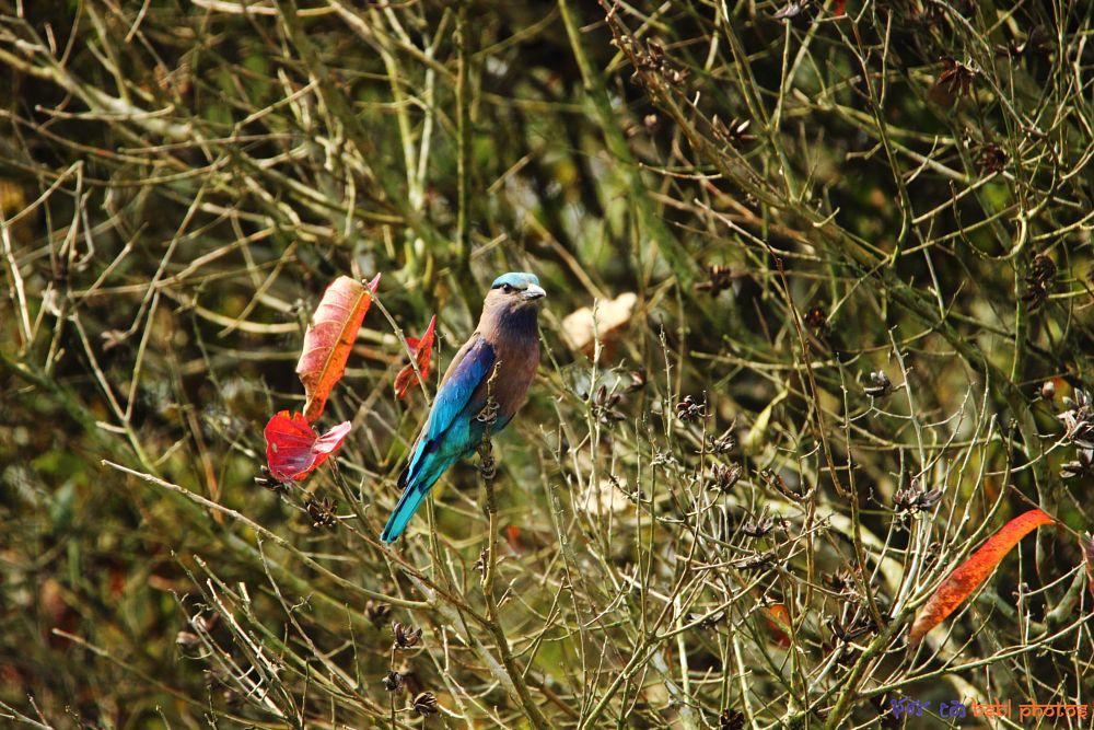 Photo in Animal #roller #indian roller #bird #aves