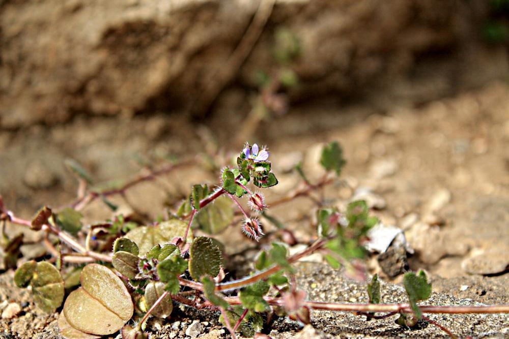 Photo in Macro #theveronicahederifoliaveron