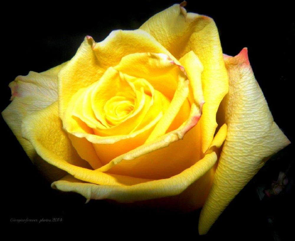 Photo in Macro #flower #rose #great #day