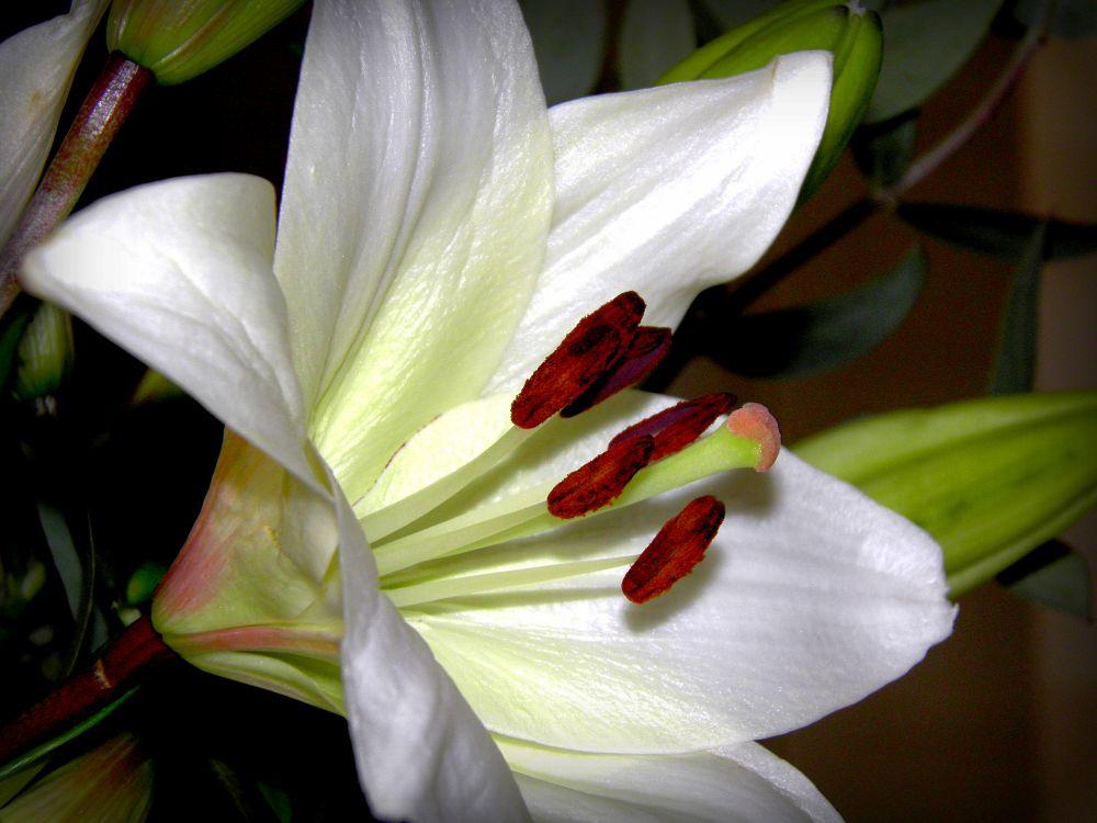 Photo in Macro #flower #fiore #lilly #white #open #big #grande