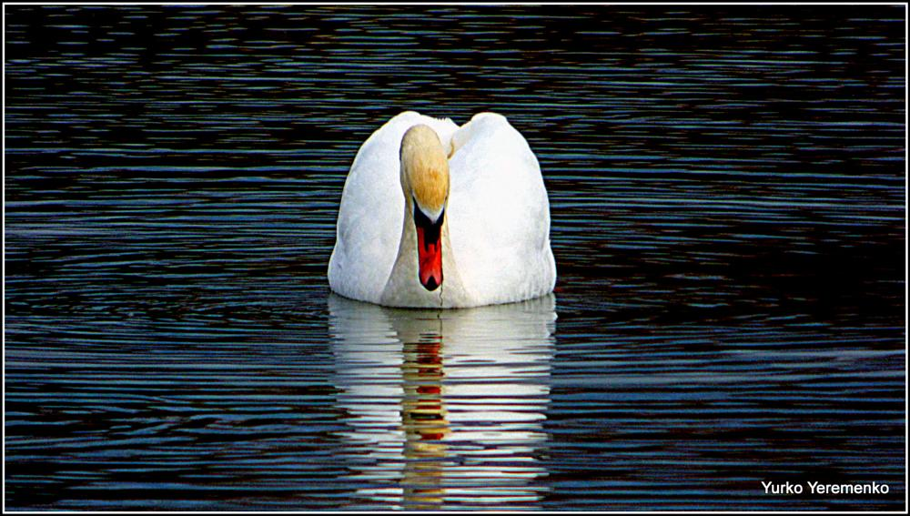 Photo in Animal #swan #reflections #narcissus