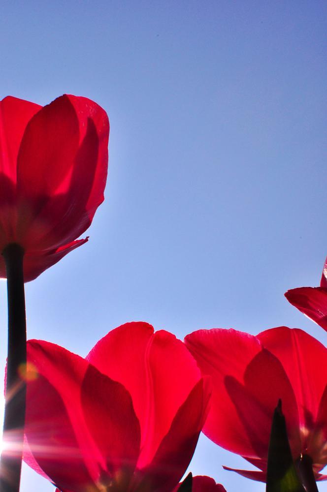 Photo in Random #tulip #dutch #spring