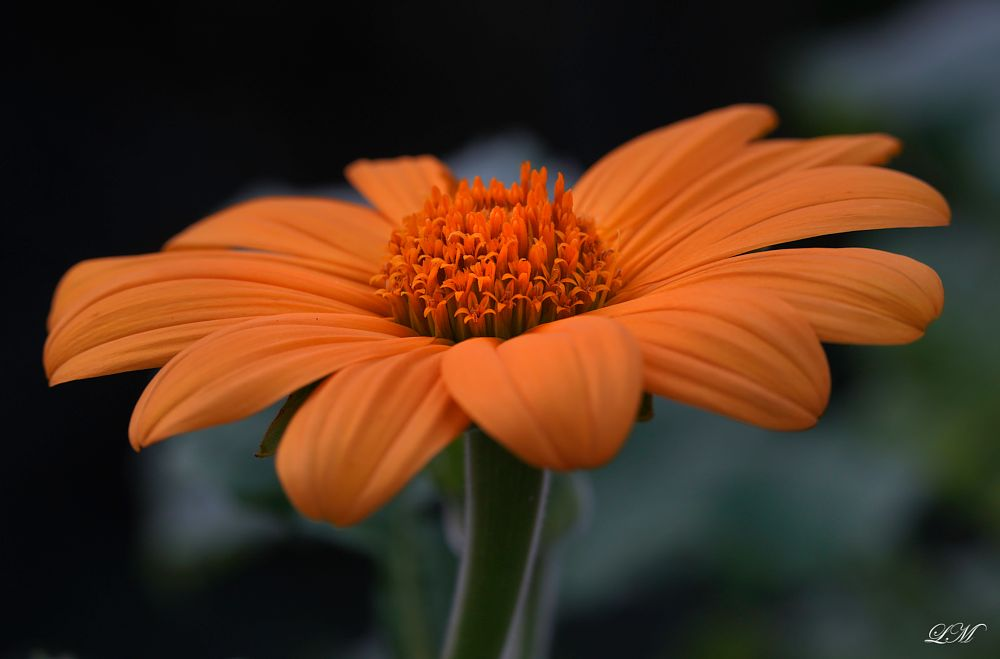 Photo in Macro #flower #macro #orange #nature