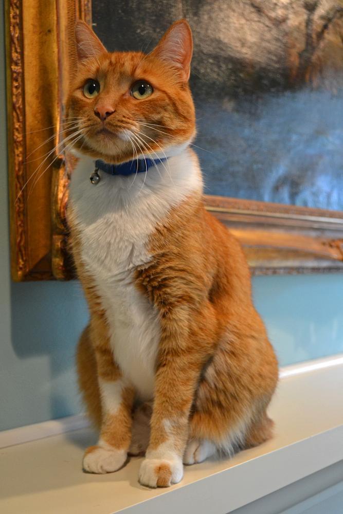Photo in Animal #manz #tabby #orange #ginger #cat