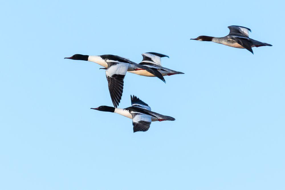 Photo in Animal #goosander #bird #nature