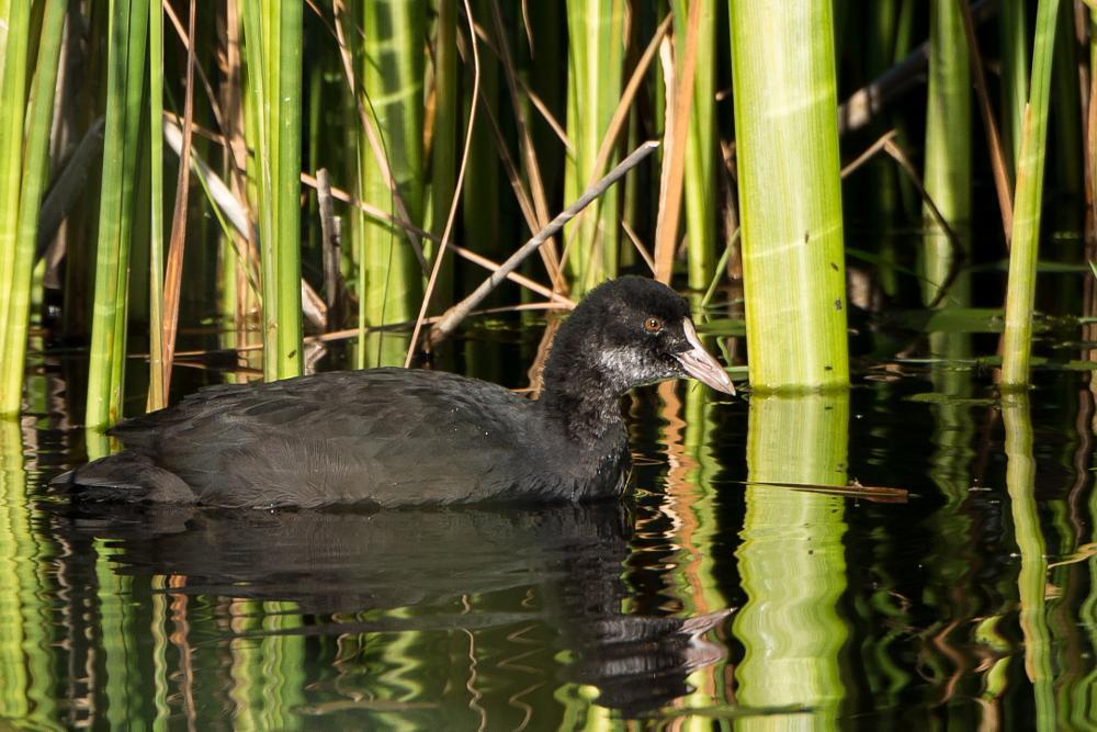 Photo in Animal #coot #bird #nature