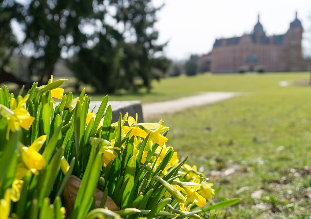 Photo in Nature #nature #naturephotography #flowers #flowerphotography #daffodils #spring #castle #park