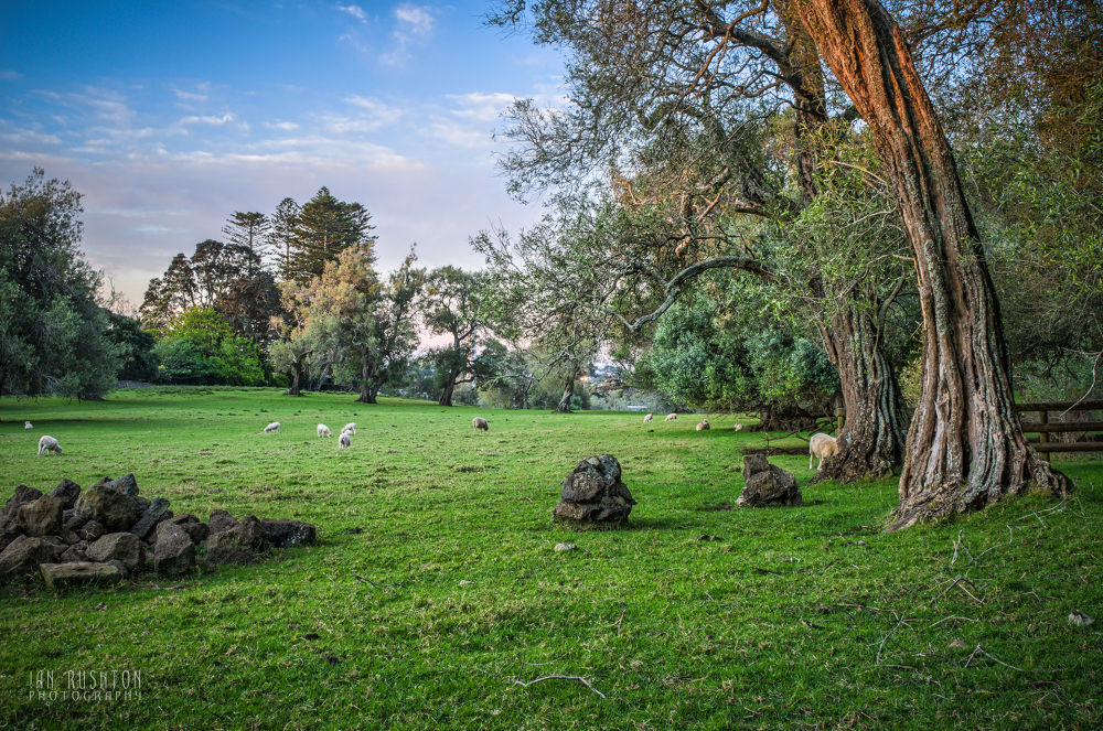 Photo in Landscape #nature #field #grass #sheep #trees #rocks #auckland #new zealand #landscape