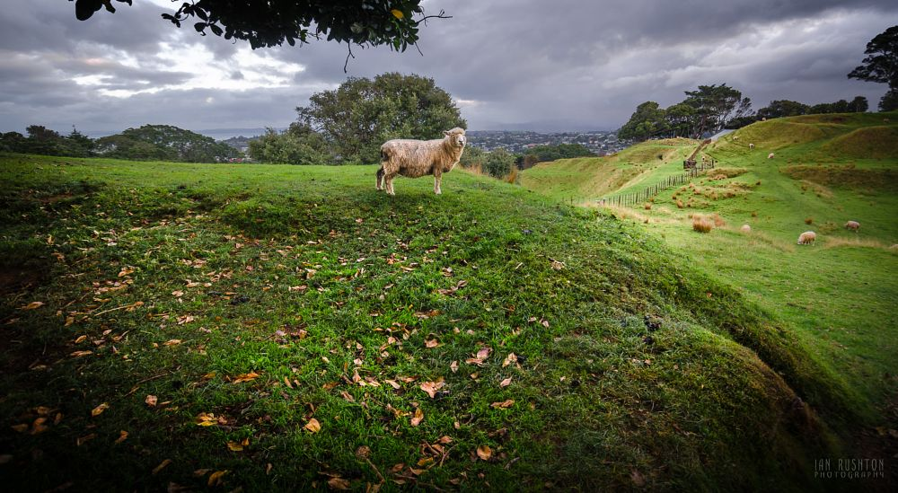 Photo in Landscape #sheep #one tree hill #auckland #new zealand #green #grass #paddock