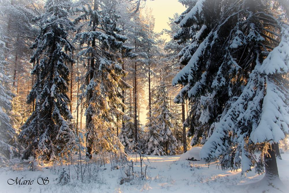Photo in Nature #winter #sweden #forest