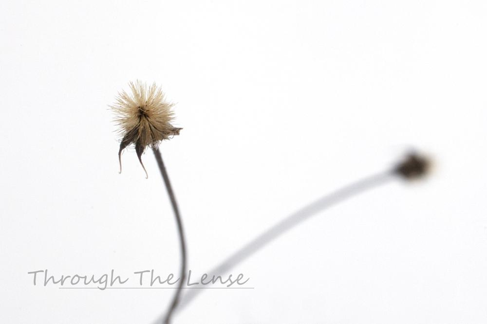 Photo in Macro #winter #snow #desolate #wildflower
