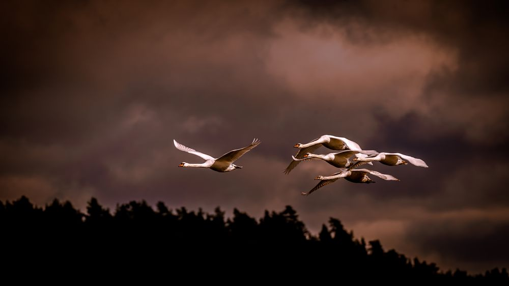 Photo in Animal #swans