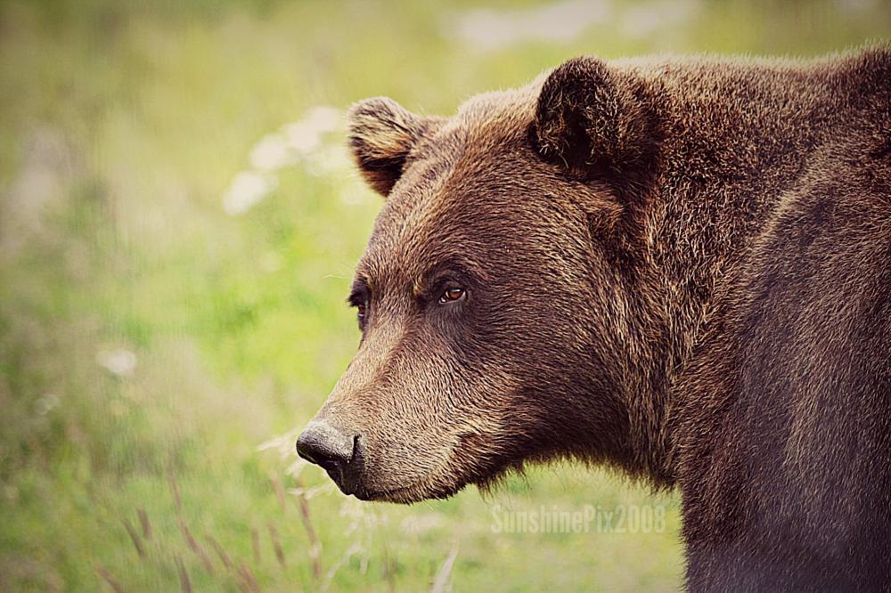 Photo in Animal #bear #grizzly #alaska