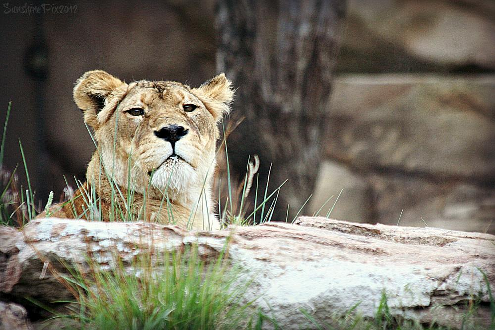 Photo in Animal #lion #lioness #zoo