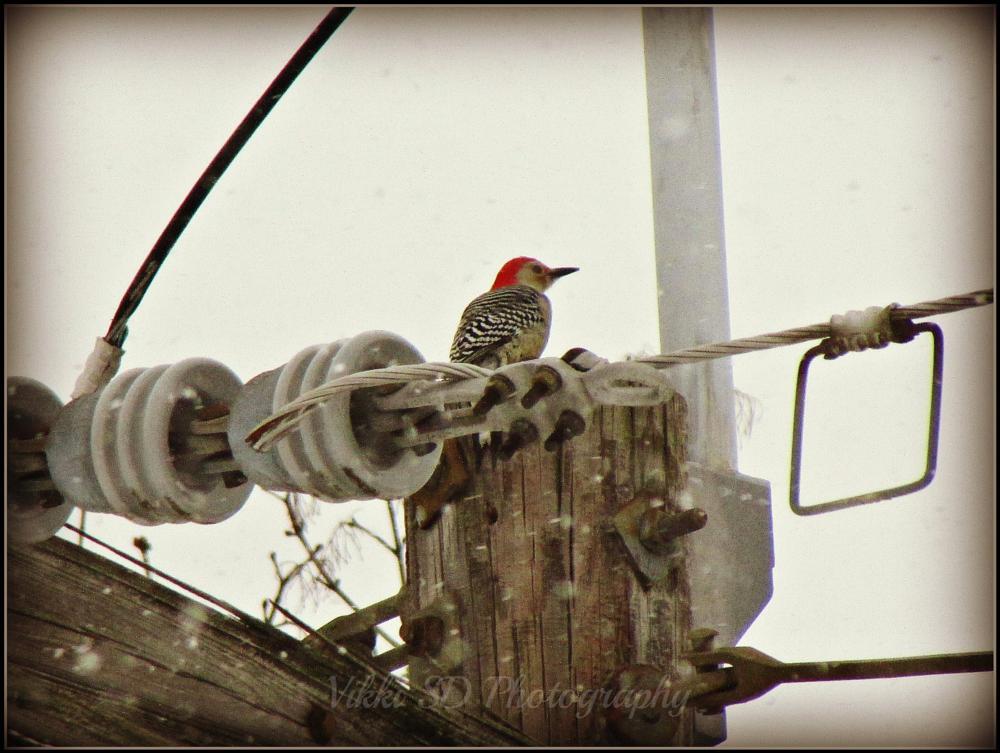 Photo in Random #woodpecker #red bullied #upstate ny #bird #red