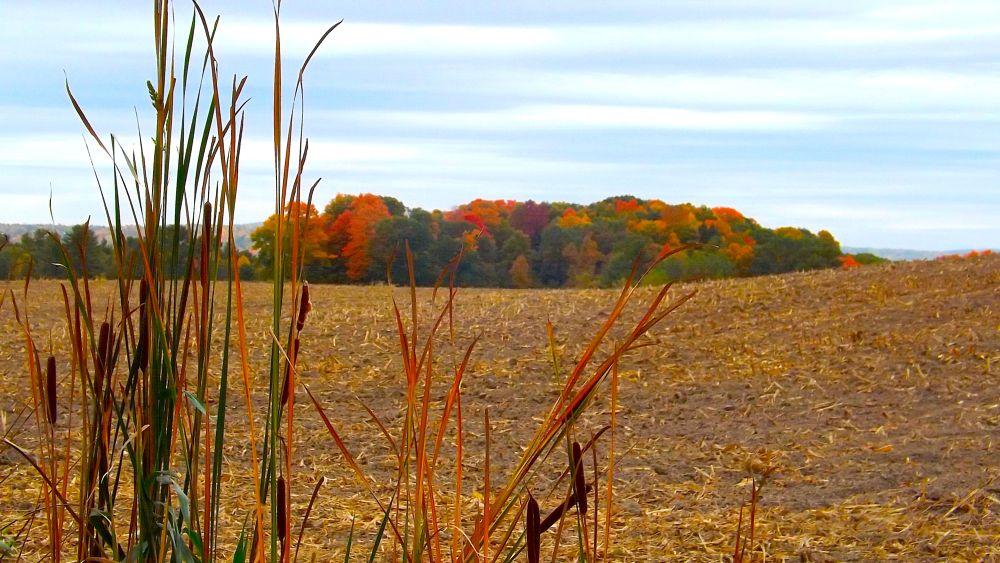 Photo in Landscape #foliage #vermont #cornfield #rural #landscape #nature #trees