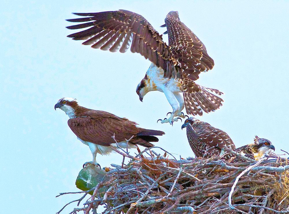 Photo in Animal #osprey mother and three immatu #osprey #osprey learning to fly