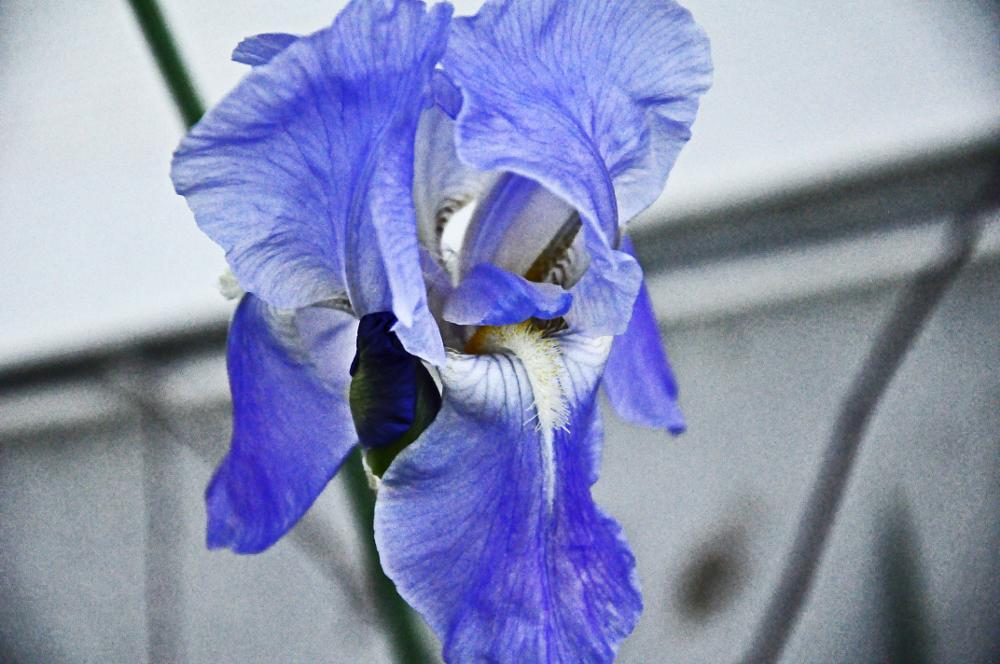 Photo in Nature #irisflowerblue