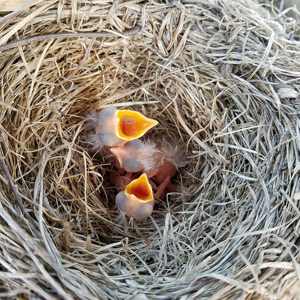 Photo in Nature #robins #birds #nature #nest