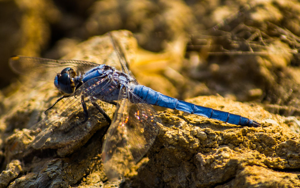 Photo in Macro #nature #color #insect #animal #dragonfly #macro #close up