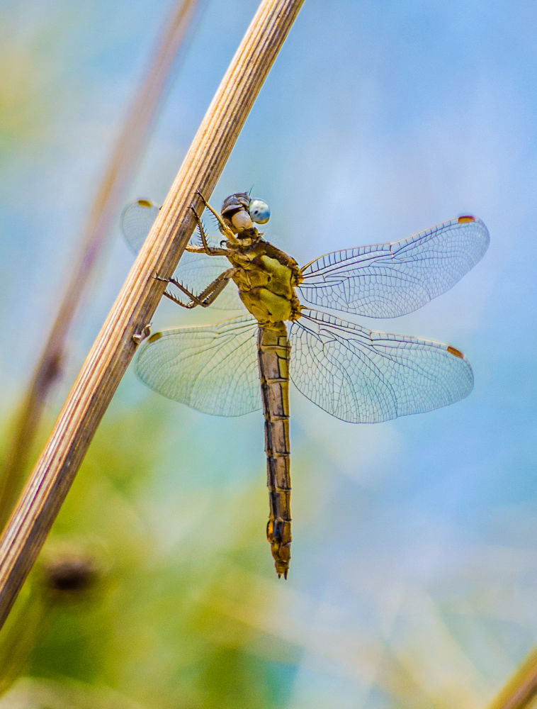 Photo in Macro #nature #color #animal #insect #dragonfly #macro #close up