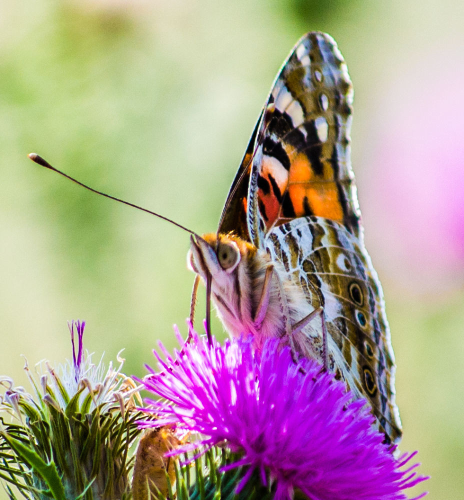 Photo in Macro #bug #butterfly #insect #nature #flower #macro #close up