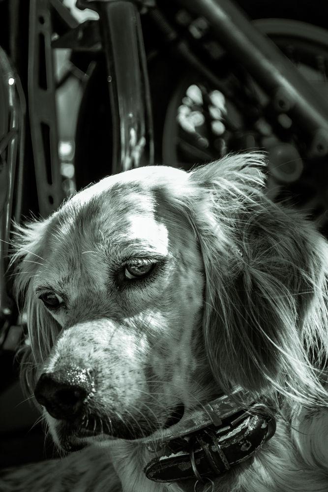 Photo in Portrait #dog #pet #animal #monochrome #thales #black and white #portrait