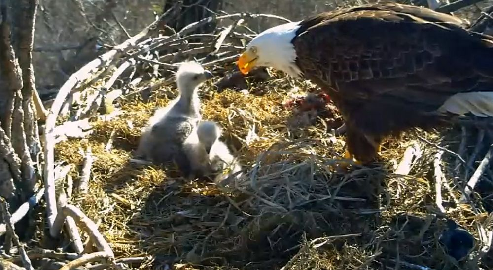Photo in Macro #bald eagles #random #nature #animal #wildlife #eagles
