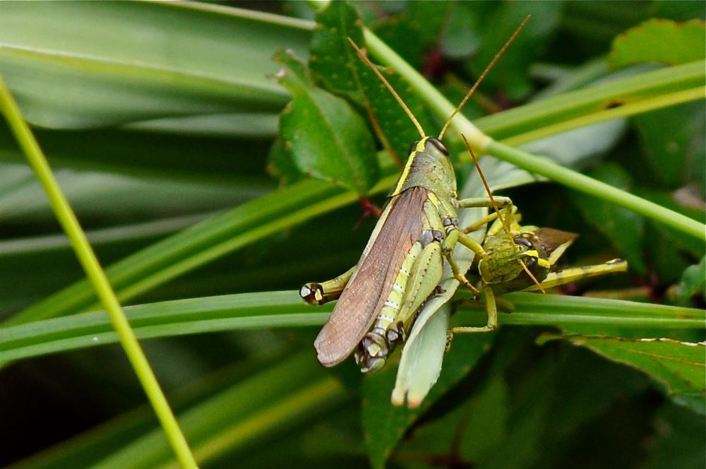 Photo in Nature #locust #grasshopper #flying insect