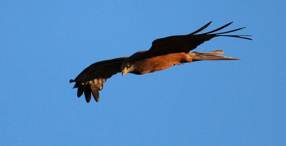 Photo in Random #kite hunter bird of prey