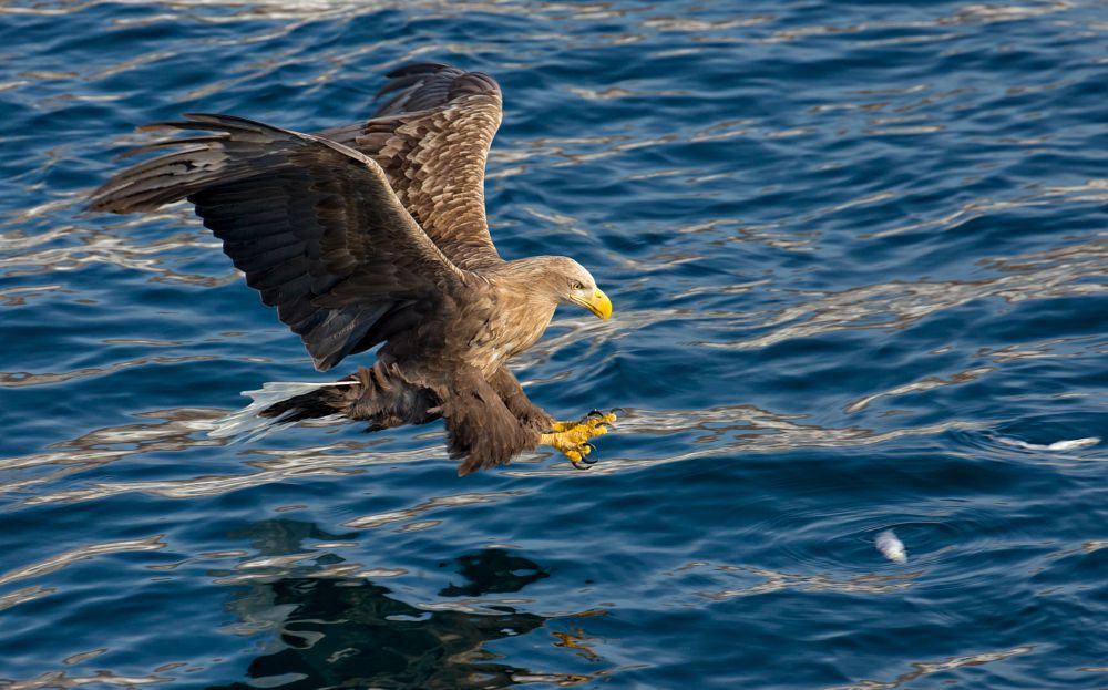 Photo in Nature #stellar sea eagles #eagles #birds #predators #raptors #wild #wildlife #nature