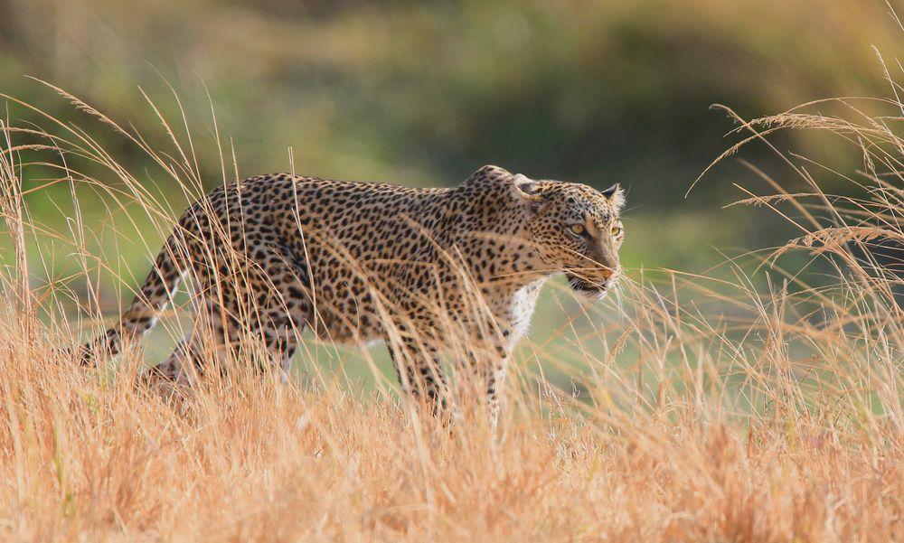 Photo in Random #leopard #animals #wild animal #big cat #africa #wilderness #nature #natural #wildlife #natural light