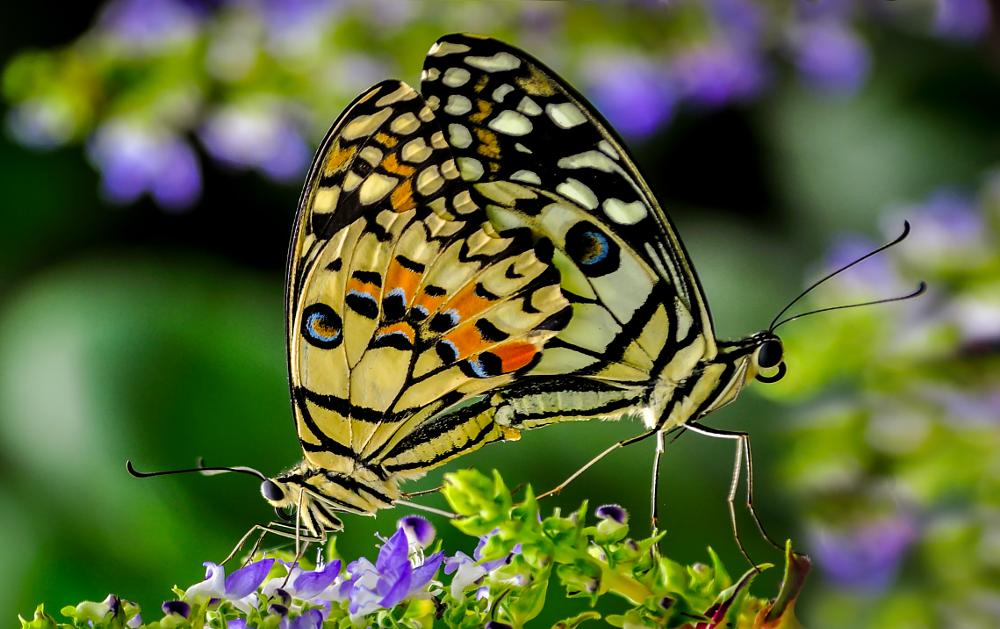 Photo in Nature #two #butterfly #mating #reproduction #fly #insect #close up #nature up close #nature