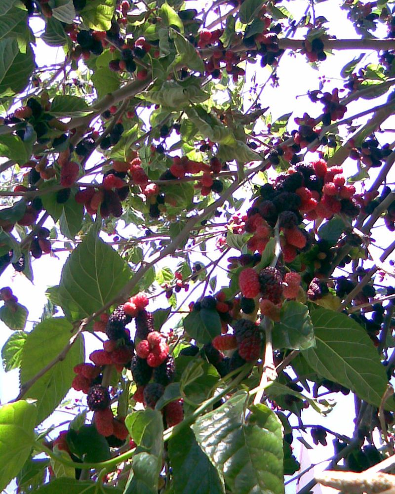 Photo in Food #mulberry #fruit #village #tree