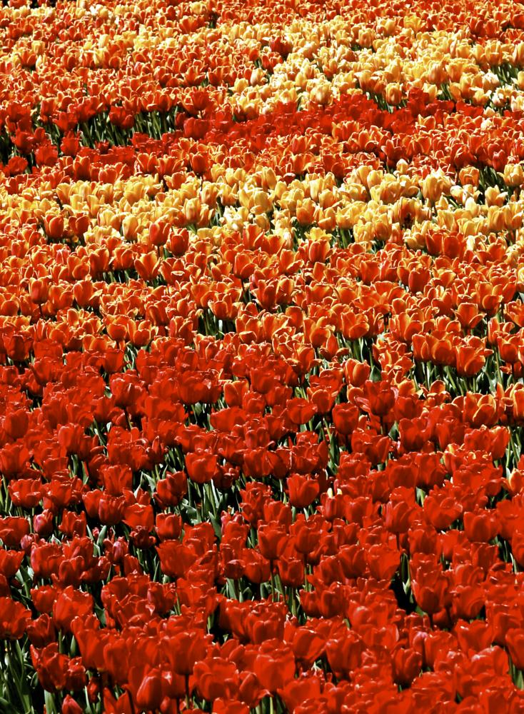 Photo in Landscape #tulips