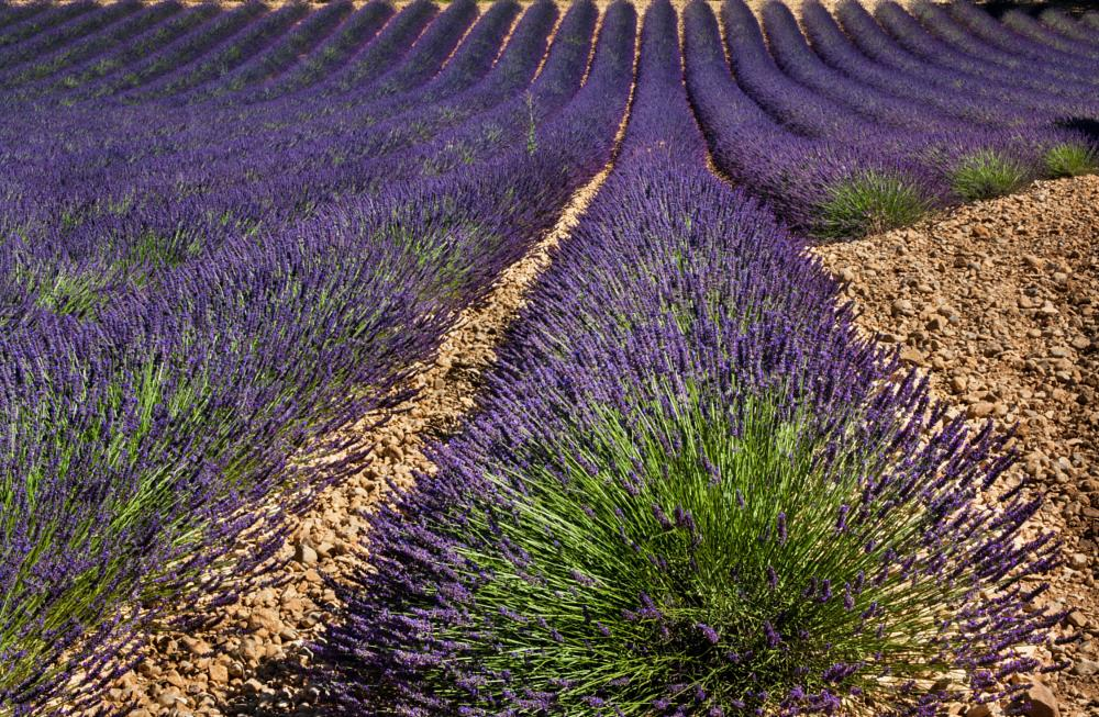Photo in Nature #lavender #valensole #france #provence