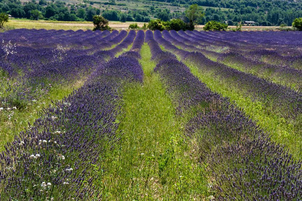 Photo in Landscape #lavender #valensole #provence #france