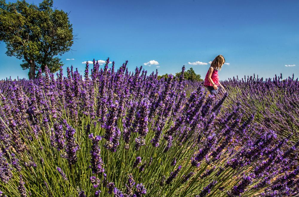 Photo in Nature #lavender #provence #france